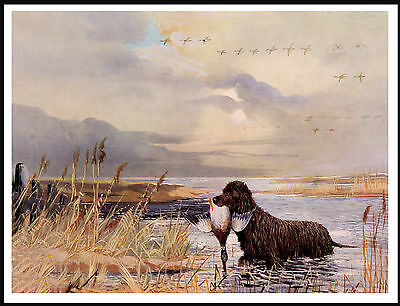 Irish Water Spaniel Retrieves Duck From Water Lovely  Dog Print Poster