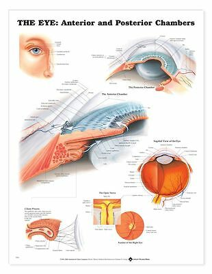 The Eye Anterior And Posterior Chambers Anatomical Chart  Laminated