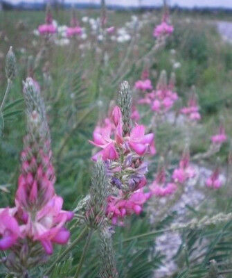 ♫ SAINFOIN Cultivé -Onobrychis viciifolia ♫ Graines ♫ COLLECTION de Mellifères ♫