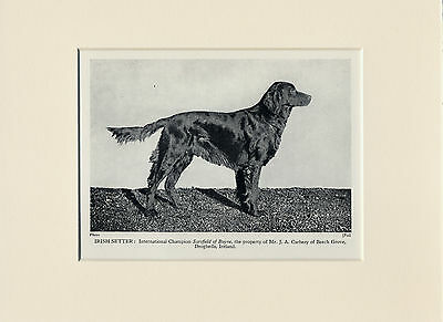 Irish Setter Original Old 1931 Named Champion Dog Print Mounted Ready To Frame