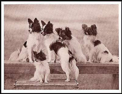 Papillon Group Of Little Dogs Charming Vintage Style Dog Print Poster