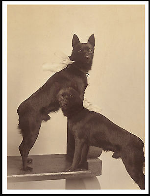 Schipperke Two Little Dogs Lovely Old Style Sepia Image Dog Print Poster