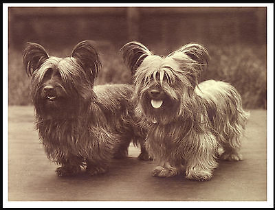 Skye Terrier Two Dogs Sepia Image Lovely Vintage Style Dog Print Poster