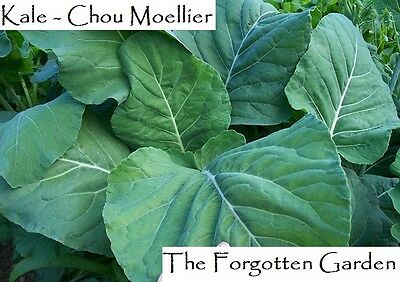 Kale Chou Moellier Seed 25 Seeds Heirloom Giant Plant Medicinal Garden 2m Tall