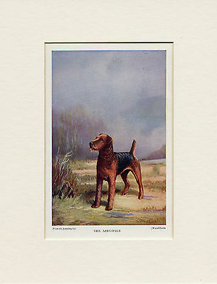 Airedale Terrier Original Old 1931 Dog Print Mounted Ready To Frame Ward Binks