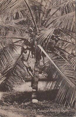 CEYLON :Coconut Plucking-JOHN