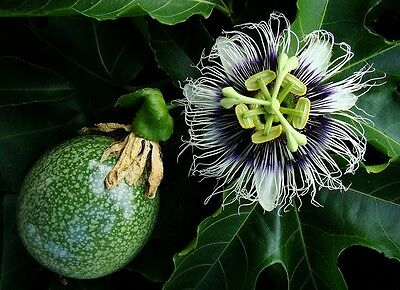 Passiflora Edulis - Exotic Passion Flower Fruit Vine - 20 Fresh Tropical Seeds