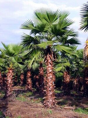 WASHINGTONIA ROBUSTA - Hardy Tropical Mexican Fan Palm Tree - 10 Exotic Seeds