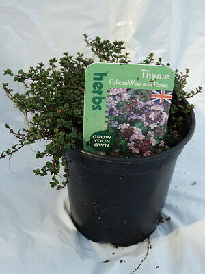 Thyme Caborn Wine & Roses evergreen aromatic herb plant bees ground cover 9cm