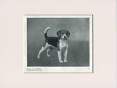 Beagle Old Named Champion Dog Print From 1948 Ready Mounted