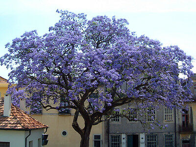 Royal Paulownia Tomentosa- 250+ Seeds- Fastest Growing Tree!