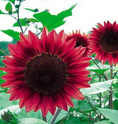 FD1535 15 Seeds Sunflower Seed red Fortune Flower Seed ~1 Pack 15 Seeds~