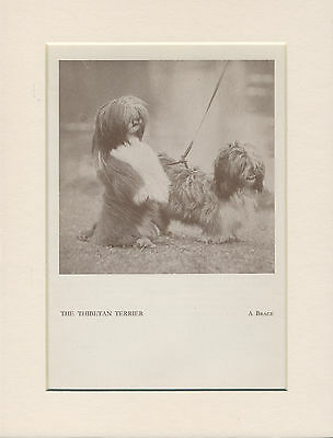 Tibetan Terrier Two Little Dogs Old 1930's Dog Print Mounted Ready To Frame