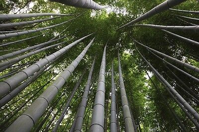 20 x Moso Bamboo Seeds. Phyllostachys Edulis Pubescens Giant Hardy Bamboo