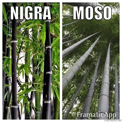 Bamboo Collection x 60 Seeds Phyllostachys Nigra Black & Giant Moso P. Edulis