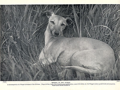 Whippet Resting In The Rushes Charming Old 1934 Dog Print