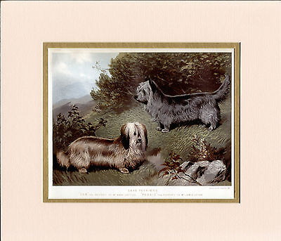 Skye Tyerrier Dogs Named Antique 1881 Dog Litho Print Mounted Ready To Frame
