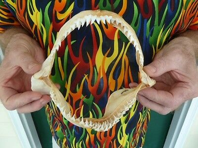 "(sj10-15) 7-5/8"" Blue SHARK jaw sharks jaws teeth taxidermy Prionace glauca Rare"
