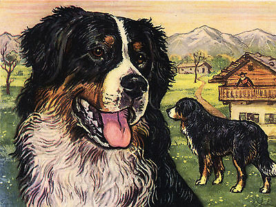 Bernese Mountain Dog Head Study Lovely Greetings Note Card