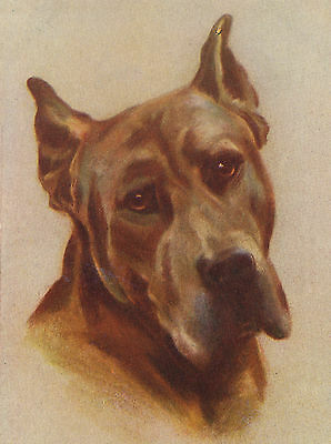 Great Dane Old Style Dog Head Study On Greetings Note Card