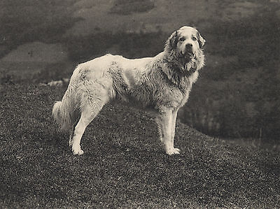Pyrenean Mountain Dog Old Photo On Greetings Note Card