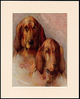 Bloodhound Two Dogs Head Study Lovely Dog Print Mounted Ready To Frame