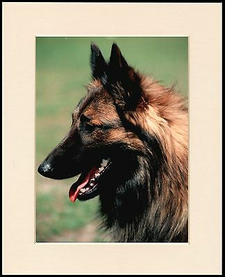 Belgian Shepherd Lovely Head Study Dog Print Mounted Ready To Frame