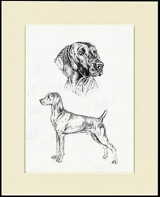 Weimaraner Lovely Dog Sketch Print Mounted Ready To Frame