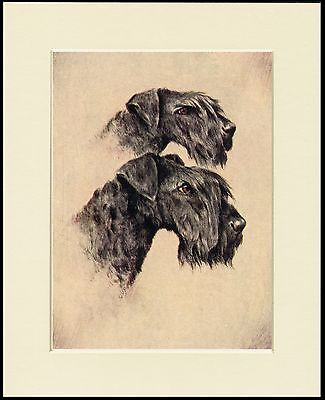 Kerry Blue Terrier Dogs Head Study Dog Print Mounted Ready To Frame