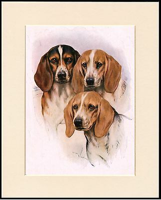 Beagle Dogs Head Study Lovely Dog Print Mounted Ready To Frame