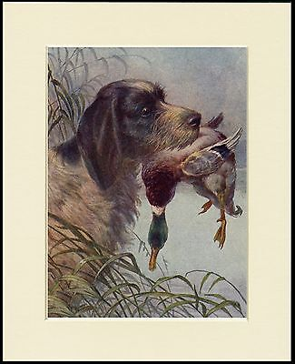 Italian Spinone Dog And Duck Dog Print Mounted Ready To Frame