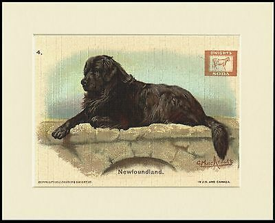 Newfoundland Great Trade Advert Dog Print Mounted Ready To Frame
