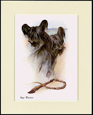 Skye Terrier Head Study Two Dogs Lovely Dog Print Mounted Ready To Frame
