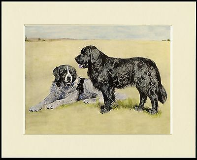 Newfoundland Two Dogs Great Dog Print Mounted Ready To Frame