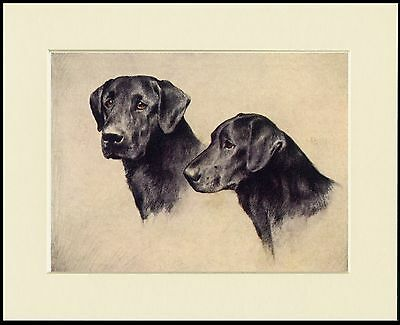 Labrador Retriever Head Study Two Dogs Lovely Dog Print Mounted Ready To Frame