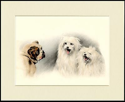 Maltese Dogs And Bulldog Lovely Little Dog Print Mounted Ready To Frame