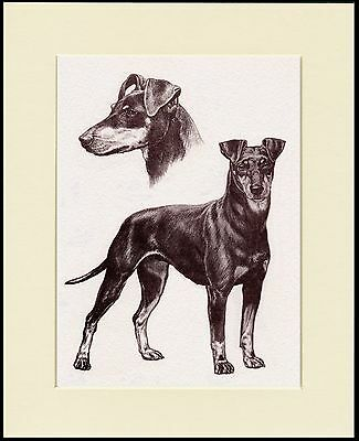 Manchester Terrier Lovely Dog Sketch Print Mounted Ready To Frame