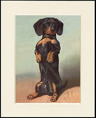 Dachshund Cute Little Begging Dog Print Mounted Ready To Frame