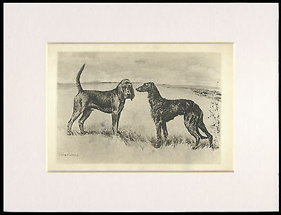 BLOODHOUND AND DEERHOUND  1906 ANTIQUE DOG PRINT by ARTHUR WARDLE READY MOUNTED
