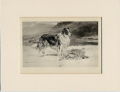 COLLIE ROUGH RARE 1894 ANTIQUE DOG PRINT by ARTHUR WARDLE READY MOUNTED