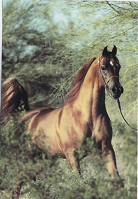 DESERT HEAT VF BY FAME ARABIAN HORSE POSTCARD 98 US RESERVE NATIONAL CHAMPION