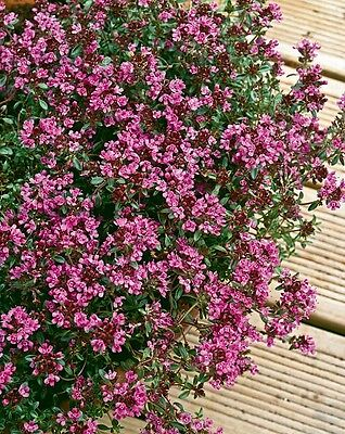 Thyme Creeping Red herb aromatic leaves crimson red flowers loved by bees 9cm