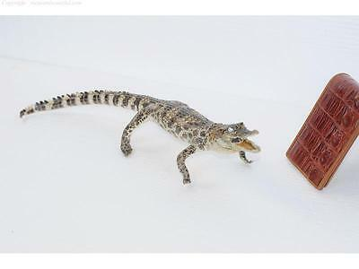 100% Real Genuine Freshwater Crocodile - Stuffed Taxidermy Mounted 45CM #CST01