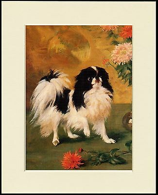 Japanese Chin Spaniel Lovely Little Standing Dog Print Mounted Ready To Frame