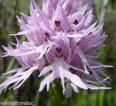 Orchis Italica - Naked Man Italian Orchid | Bonsai Flowers Seeds - 11 Types