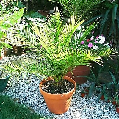 Date Palm Canary Island Seeds (Phoenix Canariensis) 5-Seeds