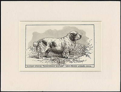Clumber Spaniel Old Antique 1900 Engraving Named Dog Print Ready Mounted