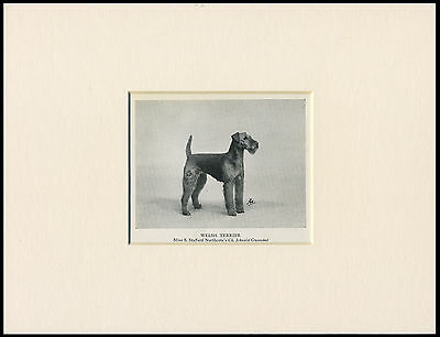 Welsh Terrier Old 1950's Named Champion Dog Print Mounted Ready To Frame