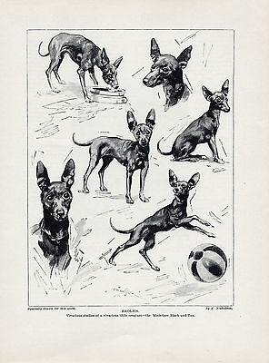 """English Toy Terrier """"frolics"""" Lovely Original Dog Art Print Page From 1934"""