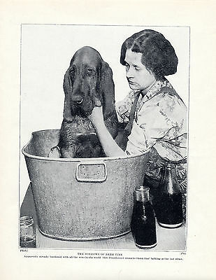 Bloodhound At Bathtime Lovely Original Dog Print Page From 1934